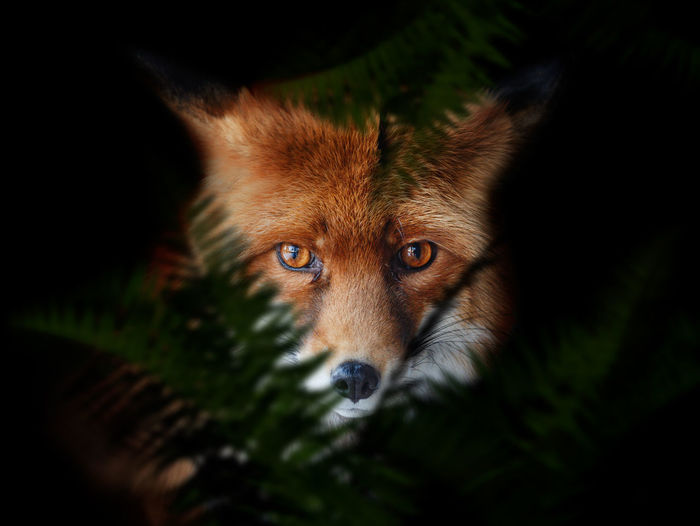 Fox Animal Animal Themes One Animal Mammal Portrait Looking At Camera Fox No People Animal Body Part Animal Wildlife Animal Head  Close-up Animals In The Wild Selective Focus Canine Nature Stealth Dog Domestic Domestic Animals Black Background