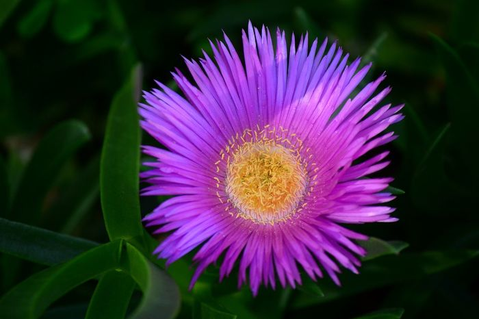 Leaves have Medicinal properties Carpobrotus Hotnotsvy Sour Fig SourFig Beauty In Nature Flower Flower Head Purple