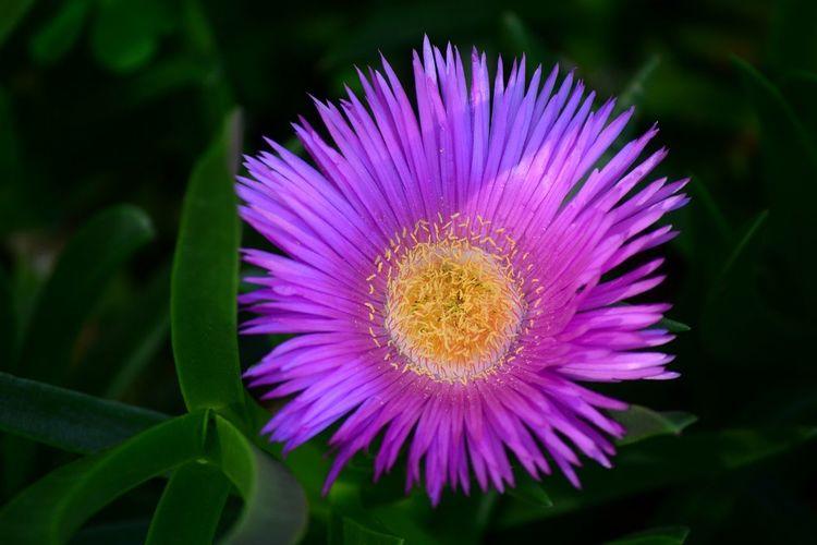 Leaves have Medicinal properties Carpobrotus Hotnotsvy Sour Fig SourFig Beauty In Nature Flower Flower Head Purple