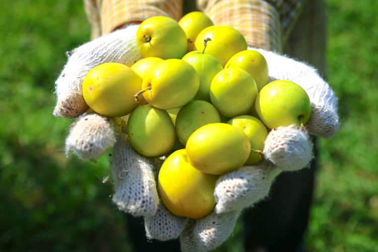 Beauty In Nature Close-up Day Focus On Foreground Food Food And Drink Freshness Fruit Green Color Growth Healthy Eating Monkey Apple Nature No People Outdoors Tree Yellow ลูกพุทรา