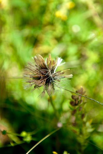 Close-up of wilted dandelion on plant
