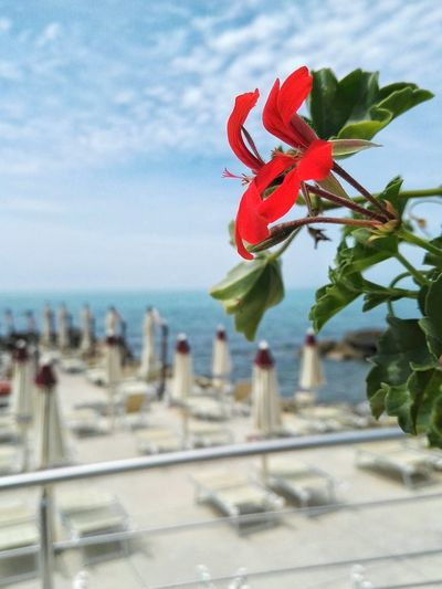 The Essence Of Summer Flower Red Flower Selective Focus Beach Sea View Summer Views Nature Blue Sky Fiore Rosso Lido Ombrelloni Spiaggia Mare Hello World EyeEm Gallery EyeEm Best Shots EyeEm Nature Lover Relaxing Place Blue Sea Seaside Seascape Tuscany Toscana Quercianella