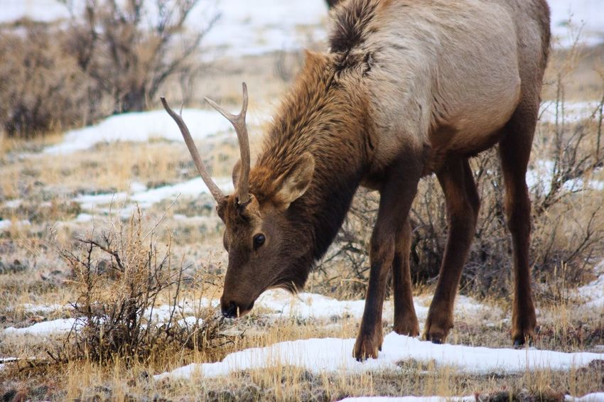 Yearling Elk grazing in Yellowstone winter Elk EyeEm Selects Animal Themes Animal Mammal Animal Wildlife Animals In The Wild Snow Nature One Animal Cold Temperature Vertebrate No People Winter Field Plant Tree Day Land Herbivorous Outdoors
