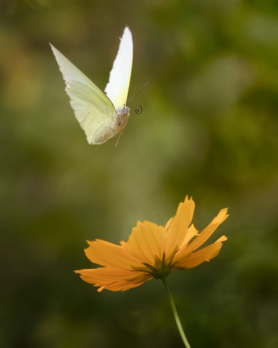 Flying Butterfly and The Flower Animal Animal Themes Animal Wildlife Animal Wing Animals In The Wild Beauty In Nature Butterfly - Insect Close-up Flower Flower Head Flowering Plant Flying Focus On Foreground Fragility Freshness Growth Inflorescence No People One Animal Petal Plant Pollen Vulnerability