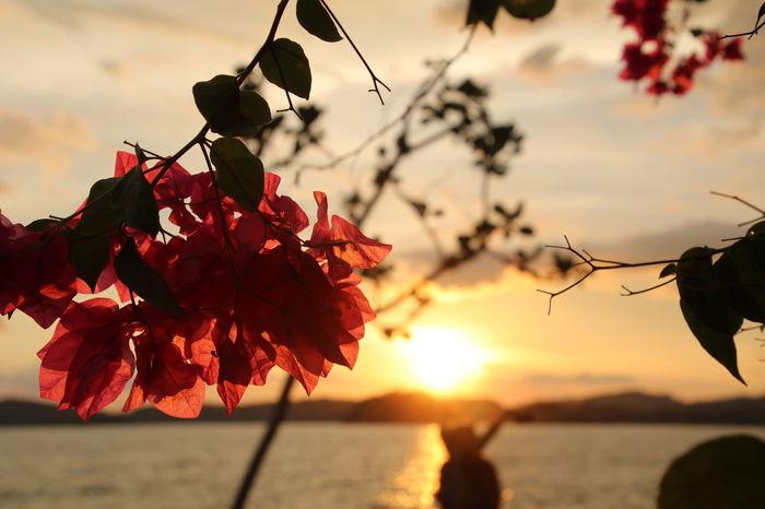 AoNangBeach Flower Beauty In Nature Sunset Krabiresort Krabi Thailand Photos Sea Beach View Beach Krabi, Thailand Krabi Resort ブーゲンビリア Flowers Live For The Story
