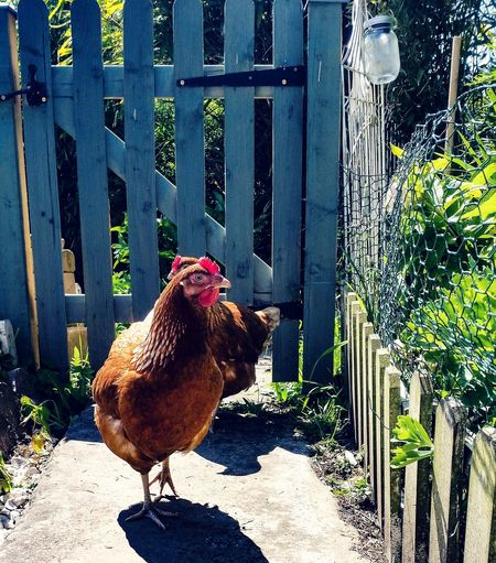 Here come the girls.... Poultryofinstagram Poultry Keeping Poultry Raising Garden Photography Garden Flowers Relaxing Moments Sunny Day Garden Gate Animal Themes Bird Photography Cockerel Rooster Hen Poultry