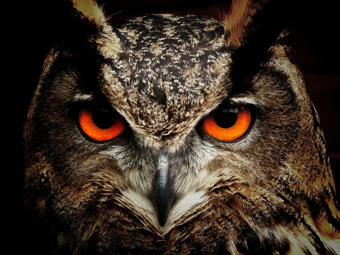 Animal Animal Body Part Animal Eye Animal Themes Animals In The Wild Black Background Close-up Day Looking At Camera Mammal Nature No People One Animal Owl Pets Portrait