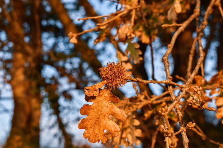 Close-up of autumnal leaves on tree during winter