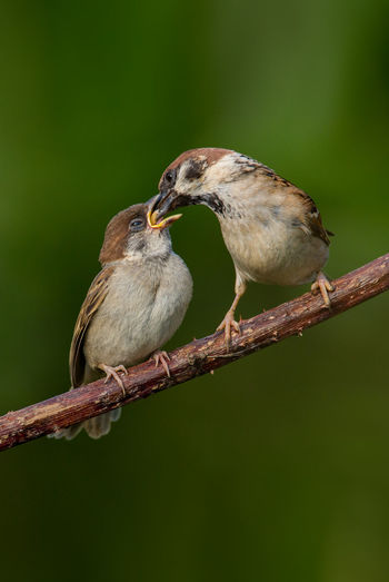 Tree sparrow feeding youngster Feldsperling Adult Feeding Fledgling Animal Themes Animal Wildlife Animals In The Wild Bird Day Eurasian Tree Sparrow Nature Outdoors Passer Montanus Tree Sparrow