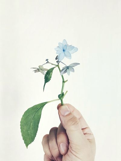 Green Hydrangea Blue Close-up Flower Holding Human Hand One Person Plant White Background
