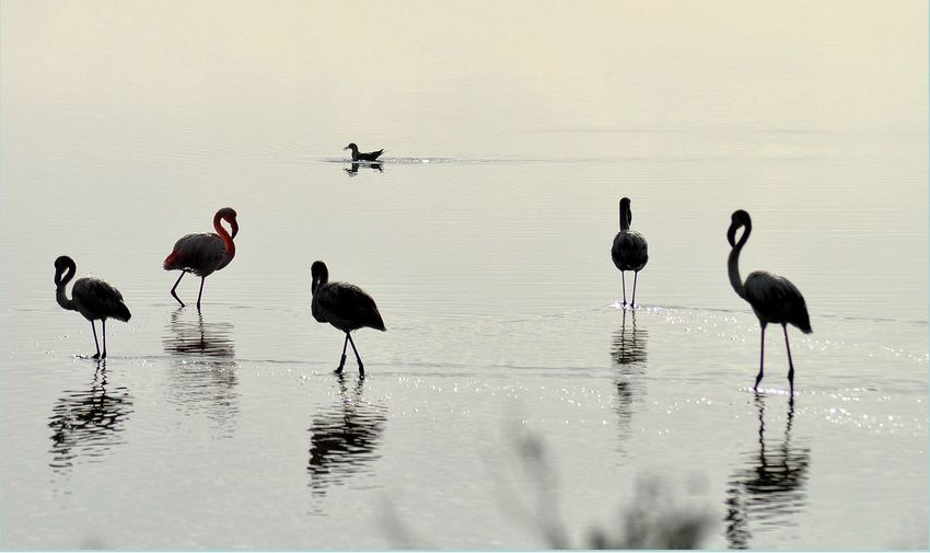 the famous flamingos of the lagoon of Santa Gilla, near Cagliari. Sardinia. italy. Amazing Place Cagliari, Fenicotteri Fenicotteri Flamingo Laguna Amazing Nature Animal Themes Animal Wildlife Animals In The Wild Beauty In Nature Bird Flamingo Flamingos Full Length Ibis Laguna Di Santa Gilla Lake Large Group Of Animals Nature Reflection Sardegnaofficial Sardinia Sardinia,italy Water EyeEmNewHere