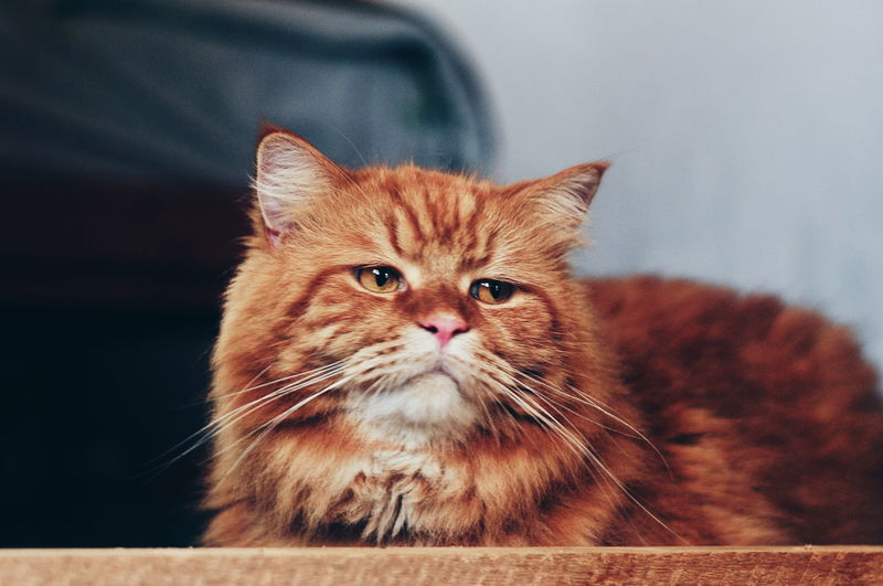 Pets Portrait Feline Domestic Cat Looking At Camera Ginger Cat Whisker Close-up Kitten Cat Cat Tabby Tortoiseshell Cat Animal Hair Animal Eye Persian Cat  Tabby Cat