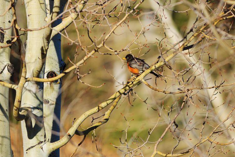 Robin in early spring Southern Utah  Utah Wildlife Bird Photography Robin Animal Animal Themes Springtime Bird Branch Perching Tree Animal Themes Songbird