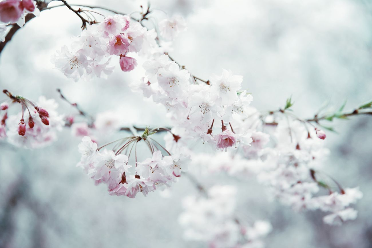 flower, fragility, blossom, beauty in nature, cherry blossom