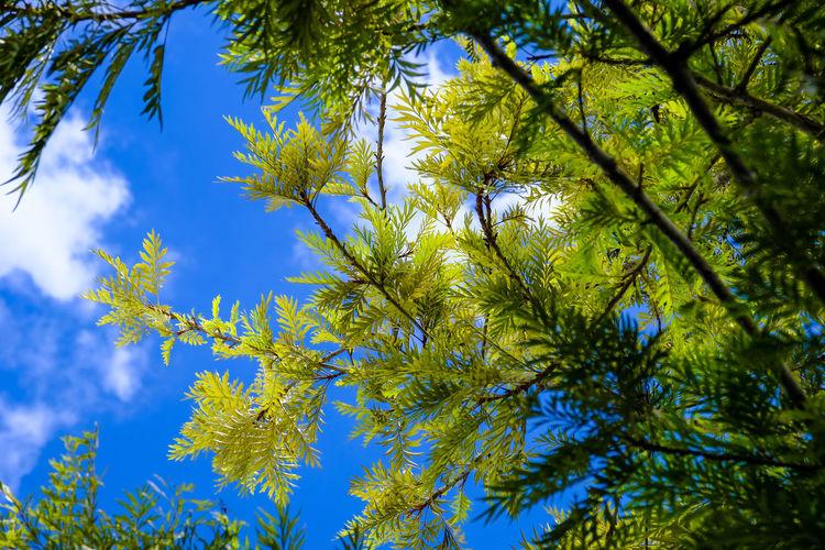 Springtime Pine