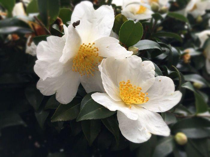 Kyoto December Camellia Sasanqua Kyoto Japan Kyoto Street White Camellia Sasanqua