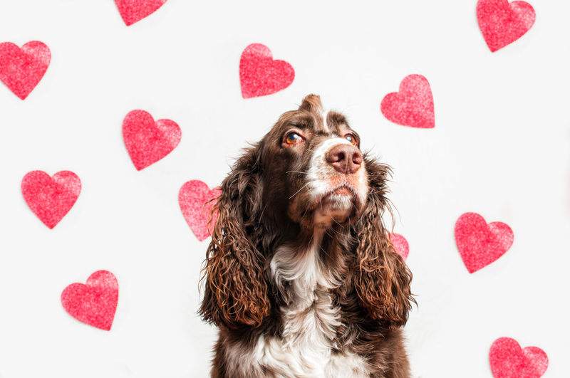 Dog over white background with red heart shapes