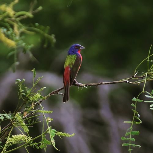 Painted Bunting male Bird Animal Themes Perching Tree Nature Multi Colored Vibrant Color Beauty In Nature Zoology Avian painted bunting Audobon