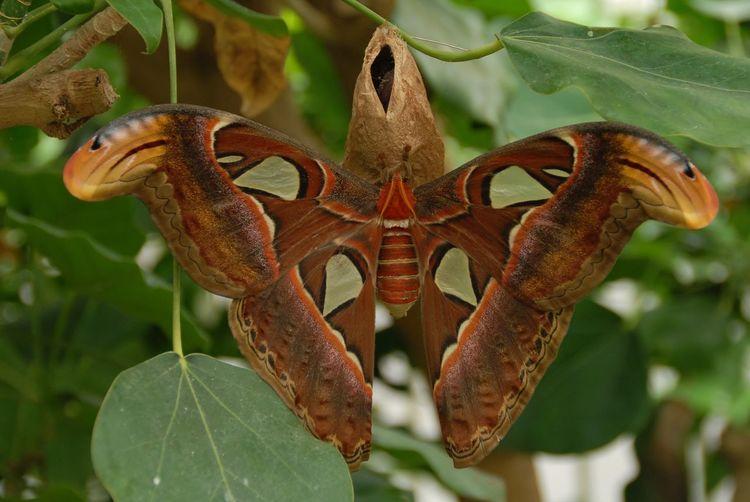 Best Shots] Atlasvlinder Atlas Moth Eye4photography  EyeEm Best Shots Animals Butterfly Naturephotography