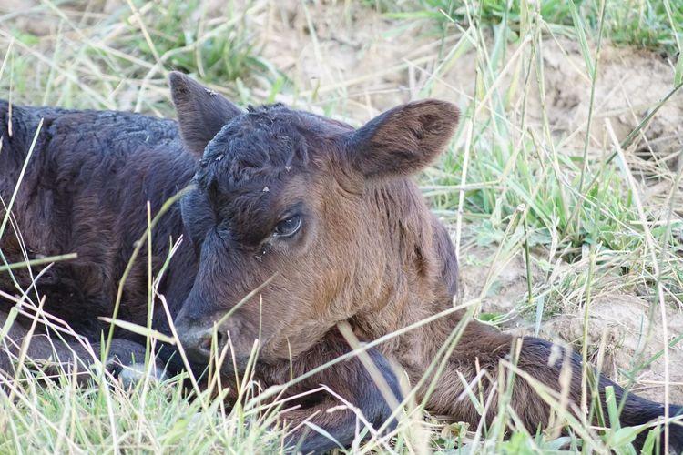 My newest neighbor Black Angus Cow Moo Baby Cow