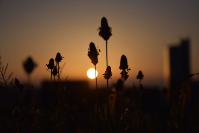 Sunset Nature Growth Beauty In Nature Field Silhouette Plant Outdoors Dusk Sun Flower No People Tranquility Sky Scenics Close-up Day
