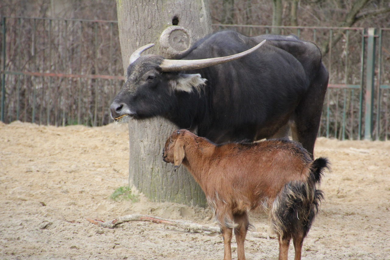 Water Buffalo And Goat Standing On Field