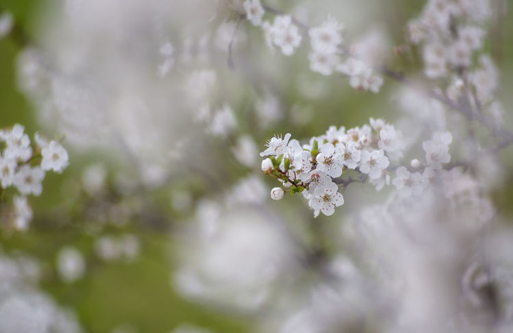 Prove con Pentacon 135 Beauty In Nature Blossom Branch Close-up Day Flower Flower Head Fragility Freshness Growth Nature No People Outdoors Spring Springtime Tree White Color