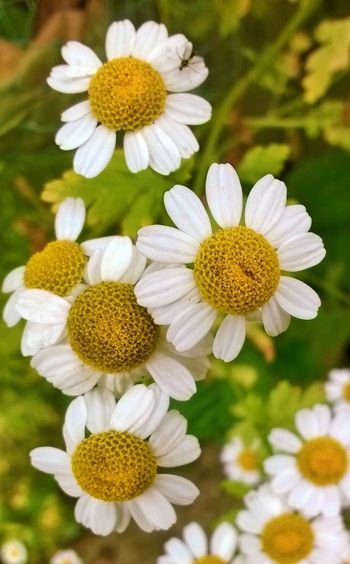 Flowers_collection Flowers Daisy Flower Summertime Flowers,Plants & Garden Garden Photography Nature_collection