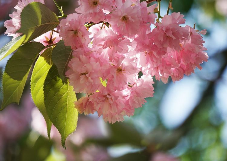 Plant Flower Flowering Plant Beauty In Nature Pink Color Close-up Plant Part Leaf Petal Blossom Tree Nature Day Springtime No People Outdoors Cherry Blossom Cherry Tree Bloom Blooming Branch Pink
