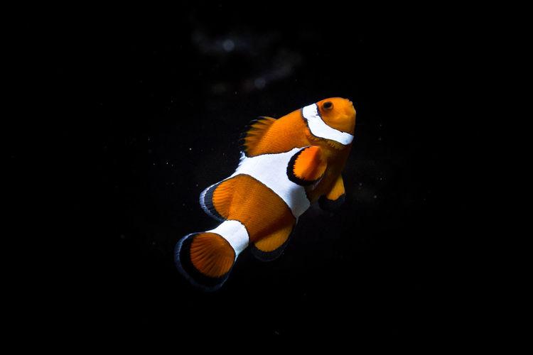 Close-up of clown fish in aquarium
