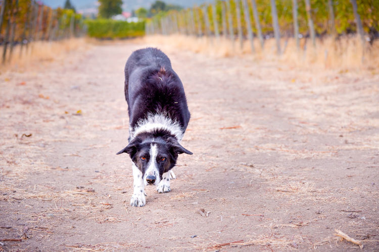 Border collie walking down path with head down ready to catch stick in game of fetch Afternoon Autumn Autumn Colors Border Collie Nature October Path Road Black And White Fur Close-up Countryside Dog Fetch Friendly Game Grapevines  Looking At Camera Mammal Outdoors Pathway Pet Playful Portrait Vineyard Waiting ...