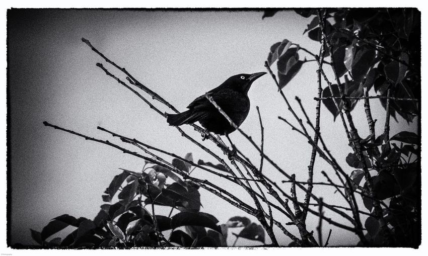 Bird eye Grainy Scary Black Bird Black And White Photography Auto Post Production Filter Transfer Print Nature Plant Tree Day Sky No People Outdoors Silhouette Shadow Branch Low Angle View