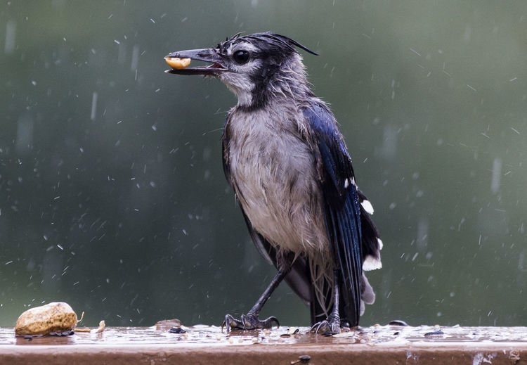 Close-up of bird eating peanut
