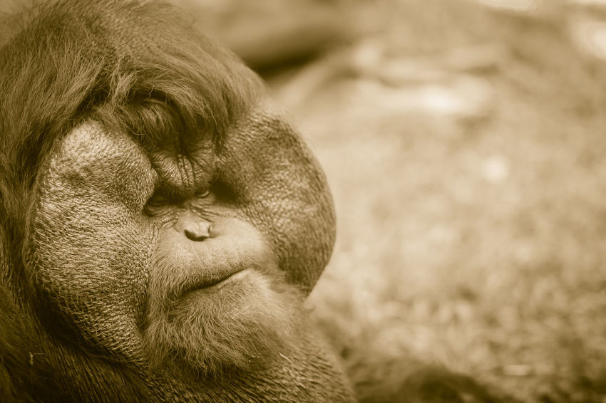 Close up to face of dominant male, Bornean orangutan (Pongo pygmaeus) with the signature developed cheek pads that arise in response to a testosterone surge. Bornean Gibbon Borneanorangutan Orangutan Of Borneo Pongo Animal Animal Body Part Animal Head  Animal Themes Animal Wildlife Animals In The Wild Ape Bornean Bornean Orang Utan Bornean Orangutan Close-up Day Dominant Male Focus On Foreground Land Mammal Monkey Nature No People One Animal Orangutan Orangutan Closeup Orangutang Orangutans Outdoors Pongo Pygmaeus Primate Relaxation Vertebrate