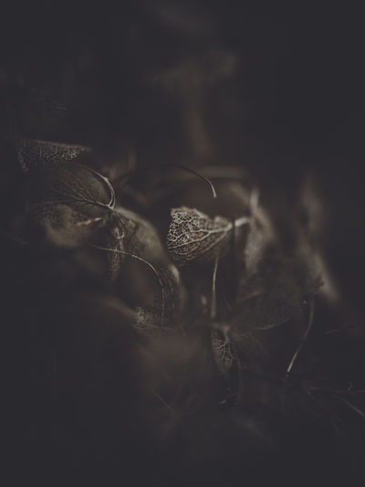Dark and moody macro dead hydrangea skeleton Selective Focus Close-up One Person Nature Flower Growth Plant Dark Flowering Plant Indoors  Vulnerability  Fragility Beauty In Nature Copy Space Real People Dry Day