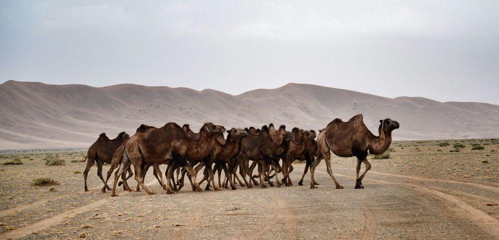 Camels in the Gobi Desert Animal Themes Sky Outdoors Nature Nature Mongolia Travel Desert Gobi Desert Arid Climate Mountain Sand Livestock Sand Dune Landscape Mammal Day Animal Wildlife No People Scenics Beauty In Nature Animals In The Wild