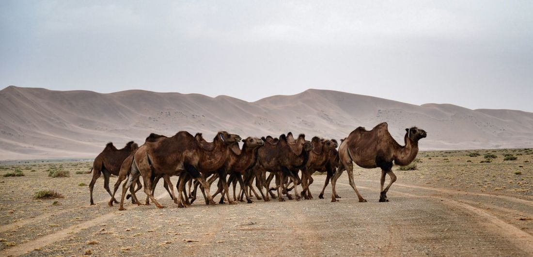 Camels in the Gobi Desert Animal Themes Sky Outdoors Nature Nature Mongolia Travel Desert Gobi Desert Arid Climate Mountain Sand Livestock Sand Dune Landscape Mammal Day Animal Wildlife No People Scenics Beauty In Nature Animals In The Wild