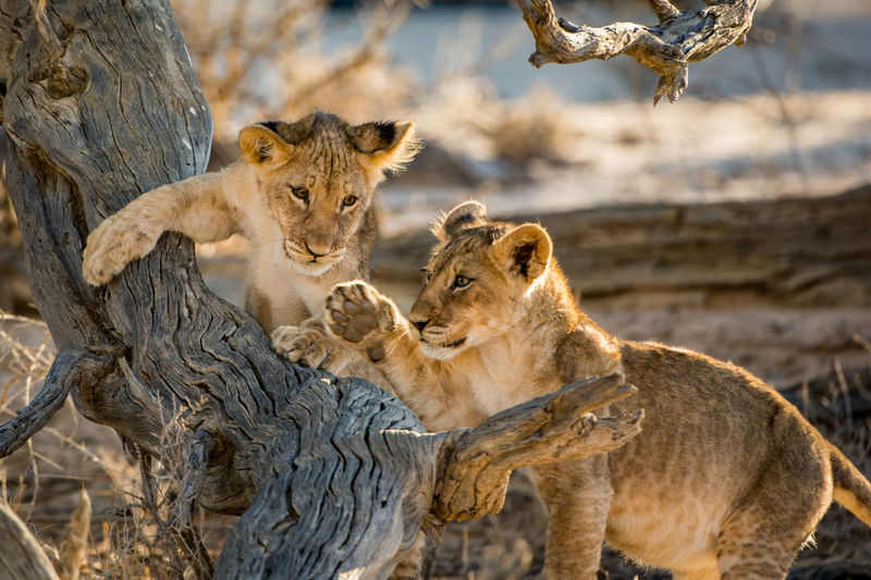 Lion cubs outdoors