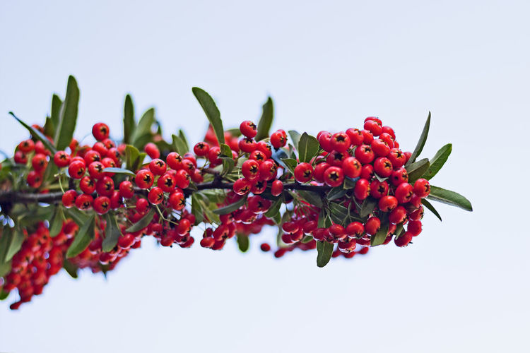 EyeEm Selects Redberries Nature Close-up Outdoors No People Botany Pyracantha Coccinea Branch Perspectives On Nature