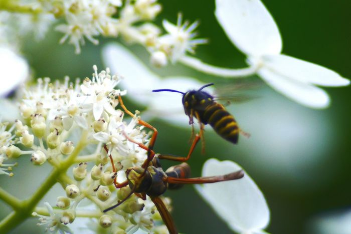 Wasps. Wasp Wasps Wasp On Flower Wasp At Work Wasp Macro Insect Paparazzi Eyeeminsect Insect Photography Nature Outdoors Insect Flower Photography Pollinators Hardworker