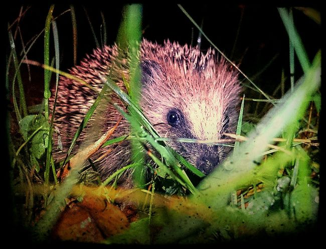 Nächtliche Begegnung mit einem Igelchen Animals🐾 Nature Photography Hedgehog Night Photography Herbstspaziergang Relaxing Time A Walk In The Woods
