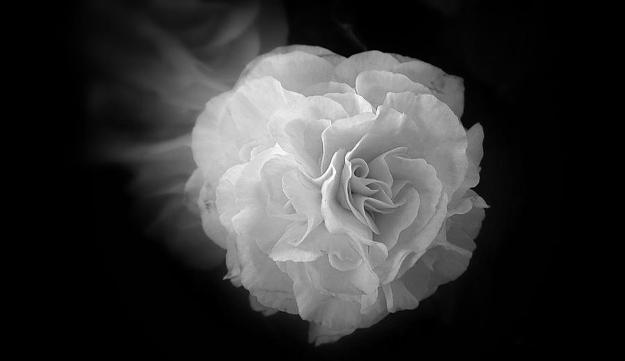 Close up petal flower, black and white. Beauty In Nature Black Background Close-up Day Flower Flower Head Fragility Freshness Nature No People Nokia Lumia 1020, Phone Photography, White Flower, Black, Closeup Isolated, Rose, Floral, Petal, Blossom, Abstract, Macro, Focus, Design, Close, Beauty, Romantic Style, Beautiful, Background, Romance, Fresh, Nature, Head, Black And White, Dark, Flora, Dec Outdoors Petal Rose - Flower