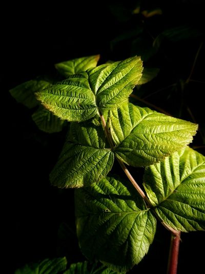 Leaf Close-up Growth Plant Freshness Fragility Stem Green Color Botany Nature Plant Life Leaf Vein Flower Focus On Foreground Macro Raspberry Green Taking Photos HuaweiP8 Nature Photography