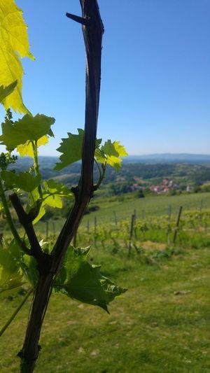 Vineyard Vineyard🍇 Vine 🍷 Vine Leaves Landscape Nature