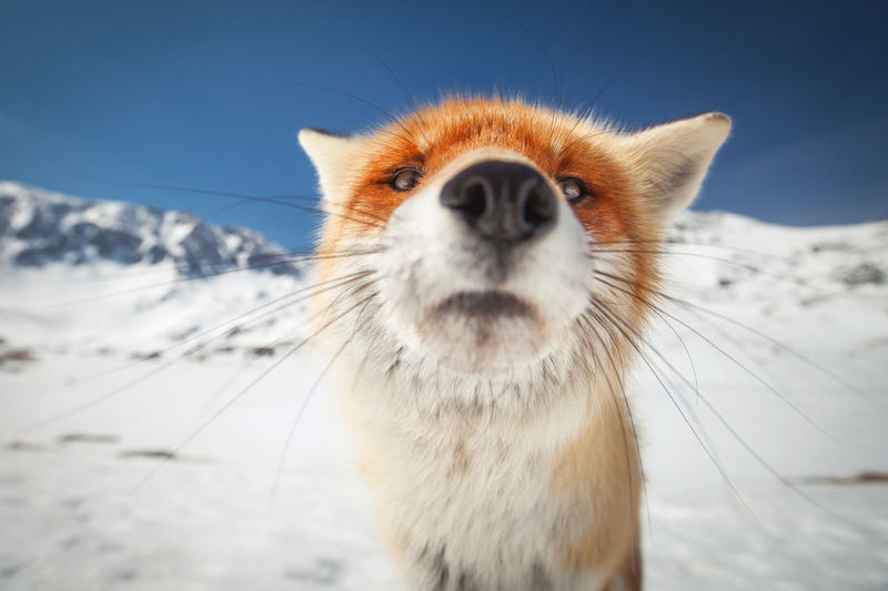 Wild red fox in winter from Retezat mountains, Romania. Carpathians Red Animal Animal Themes Blue Sky Close Close-up Curious Europe Fox Looking At Camera Mammal Mountain Mountain Range One Animal Outdoors Portrait Snow Snow Covered Whisker White Wild Wilderness Wildlife Winter EyeEm Ready