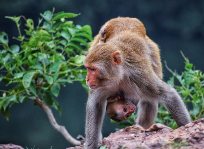 Monkey walking with his baby in his lap