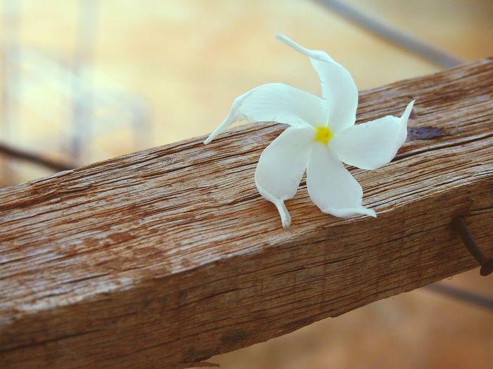 Day Fragility Flower Plant Outdoors Flower Head White Star Flower White Flower Blossom Beauty Star Flower Flowers, Nature And Beauty No People