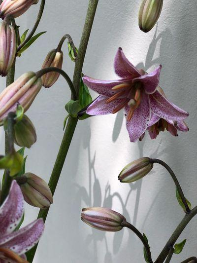 Flowers Lilium