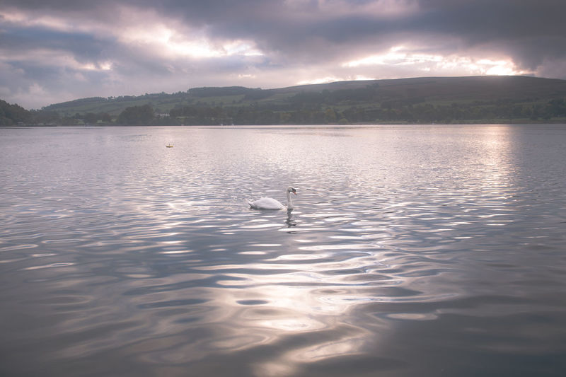 Lake District Ullswater Animal Animal Themes Animal Wildlife Animals In The Wild Beauty In Nature Bird Cloud - Sky Lake Mountain Nature No People One Animal Outdoors Reflection Sky Swan Swimming Vertebrate Water Waterfront