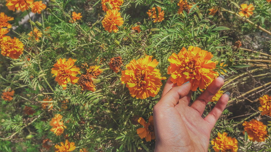 Cropped hand touching marigolds on field
